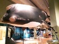 Baleine noire (taille réelle)